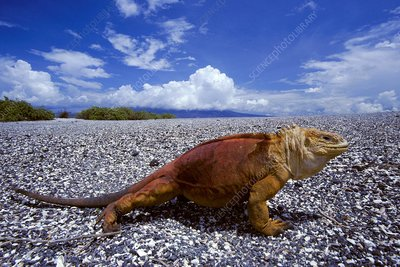 Land iguana with erupting volcano