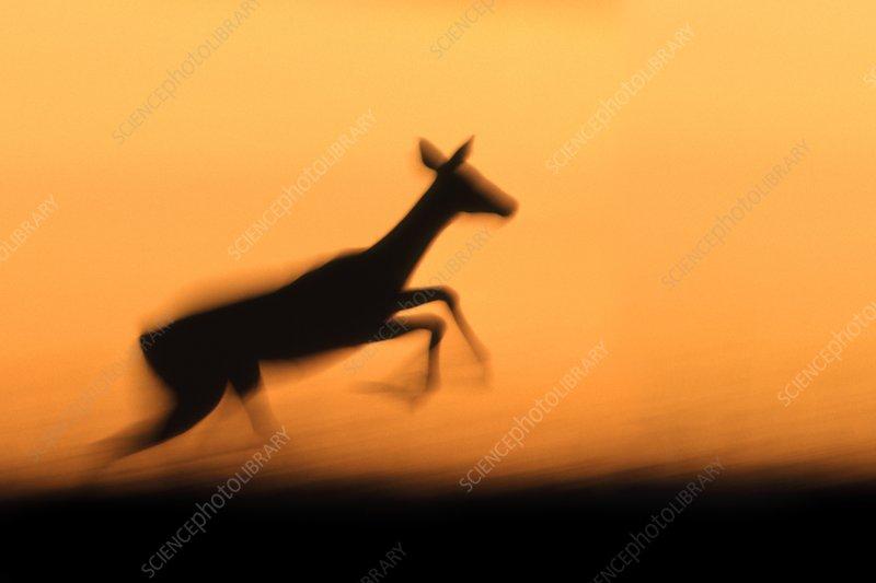 Impala leaping, Aepyceros melampus