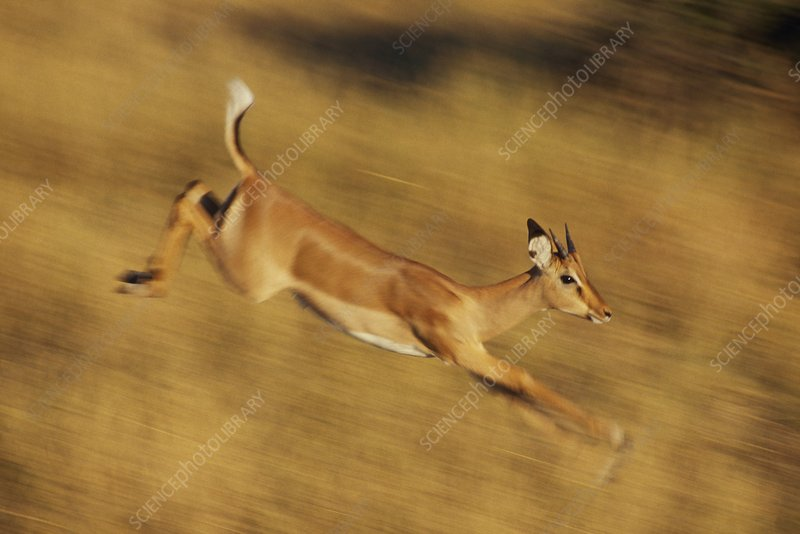 Impala female running, Aepyceros melampus
