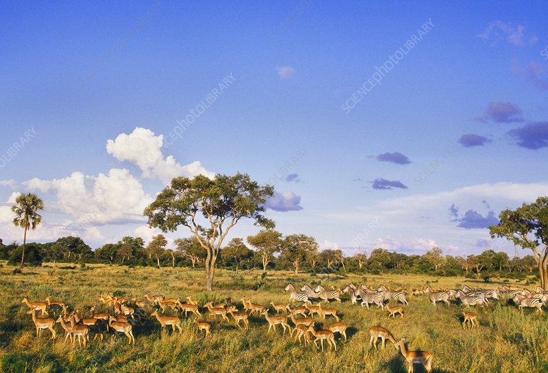 Impala herd, Aepyceros melampus, Botswana