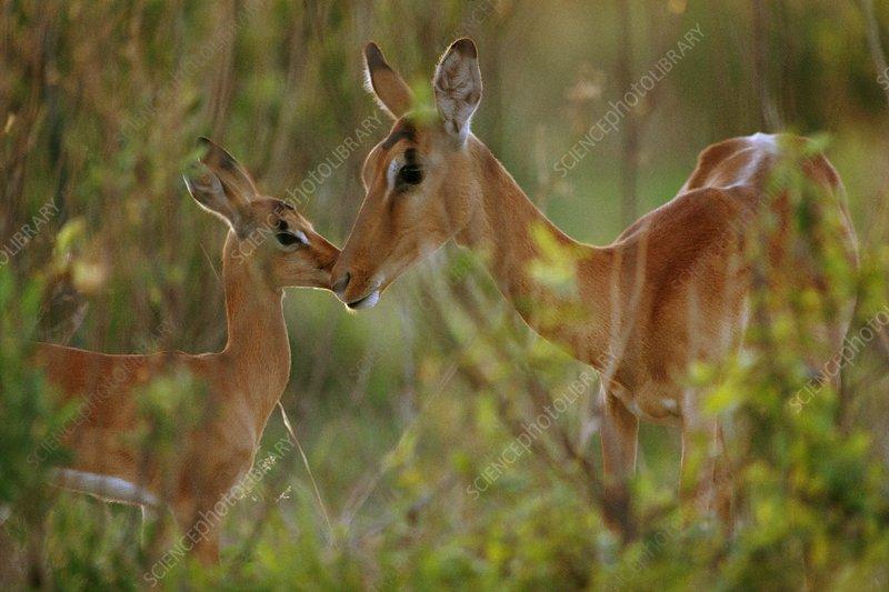 Impala mother and young, Botswana