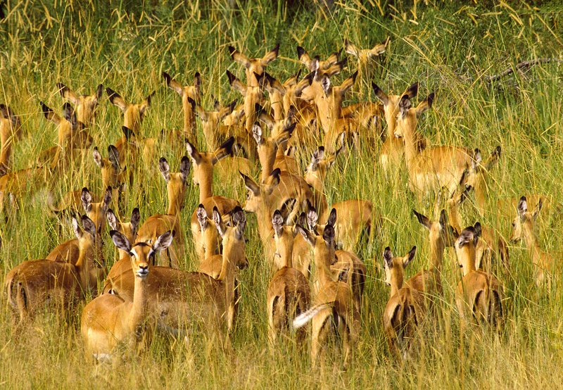 Impalas in tall grass, Aepyceros melampus