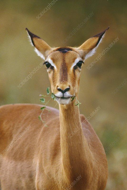 Impala doe eating, Botswana