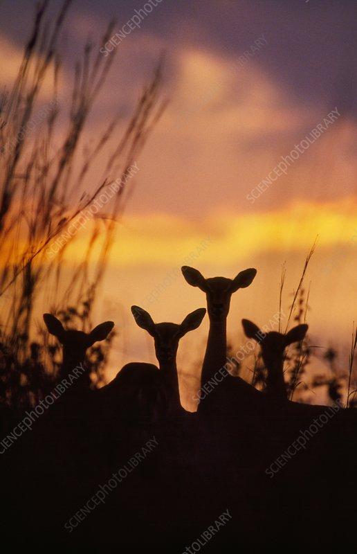 Impalas at dusk, Aepyceros melampus