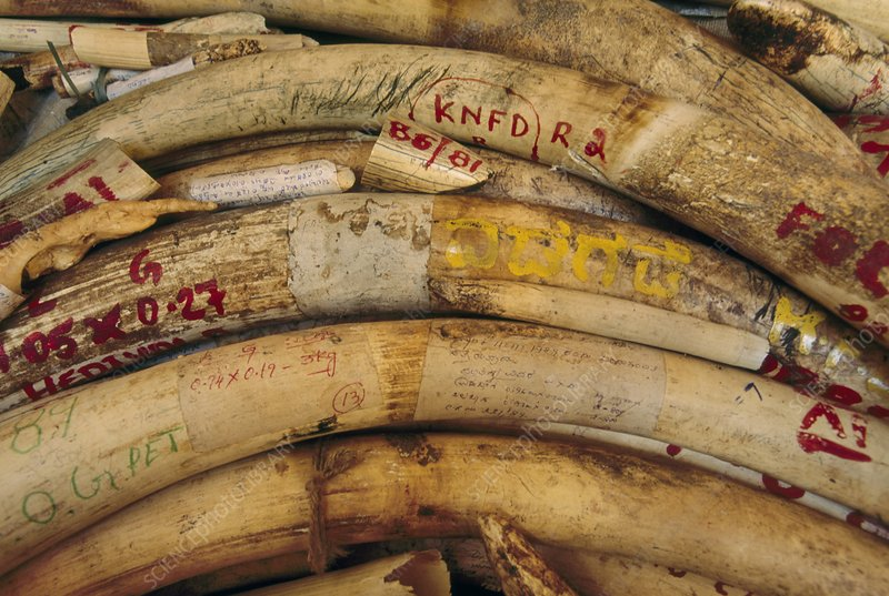 Confiscated elephant ivory in storage