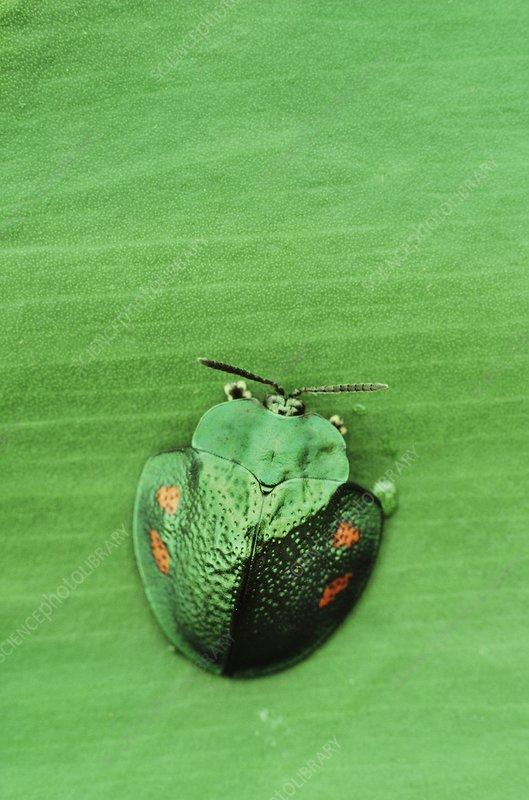 Green tortoise beetle on leaf, Surinam