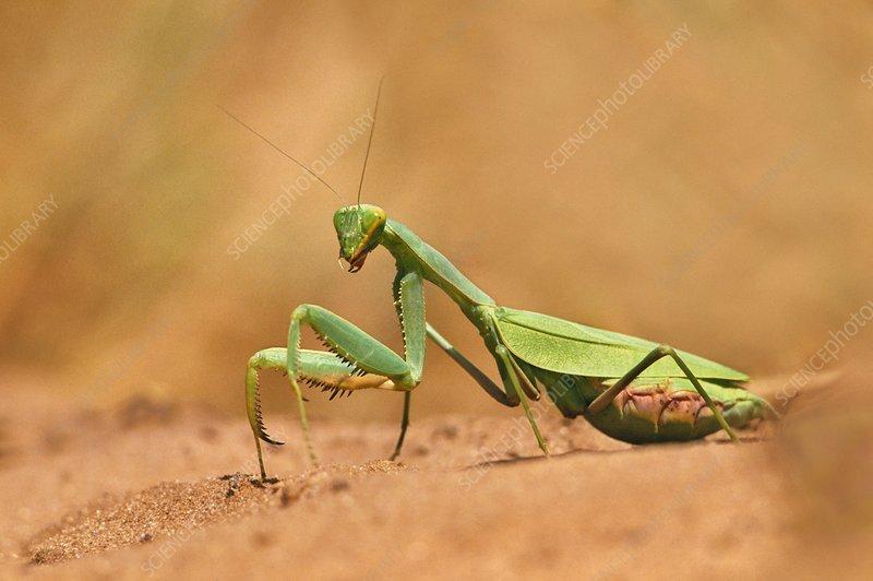 Praying mantis, Botswana