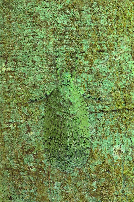 Lichen-mimic katydid camouflaged on tree