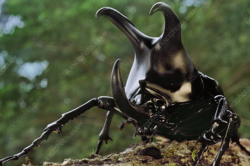 Rhinoceros beetle male, Dynastinae