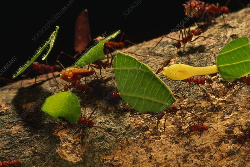 Leaf cutter ants with leaf pieces