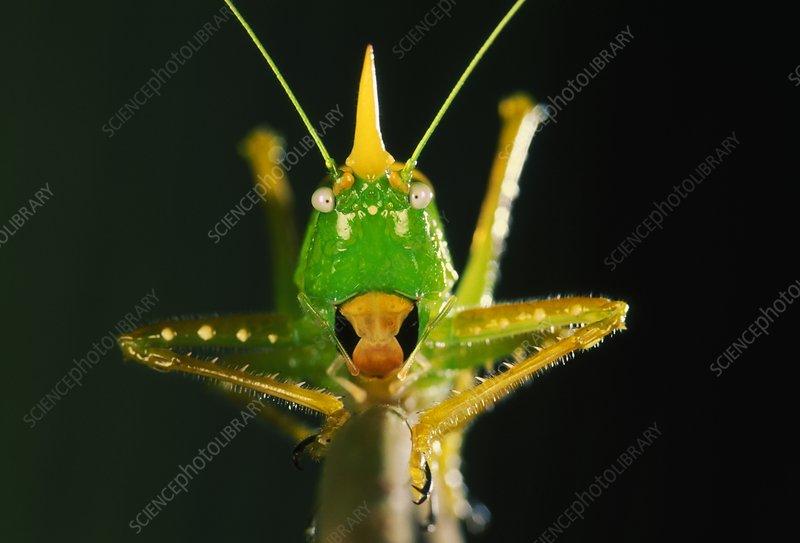 Conehead katydid, Copiphora rhinoceros