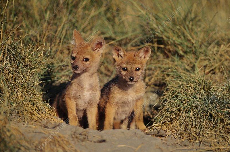 Black-backed jackal pups at den, Kenya