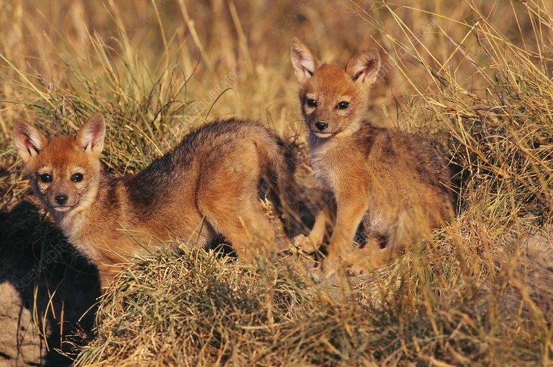 Black-backed jackal pups, Canis mesomelas
