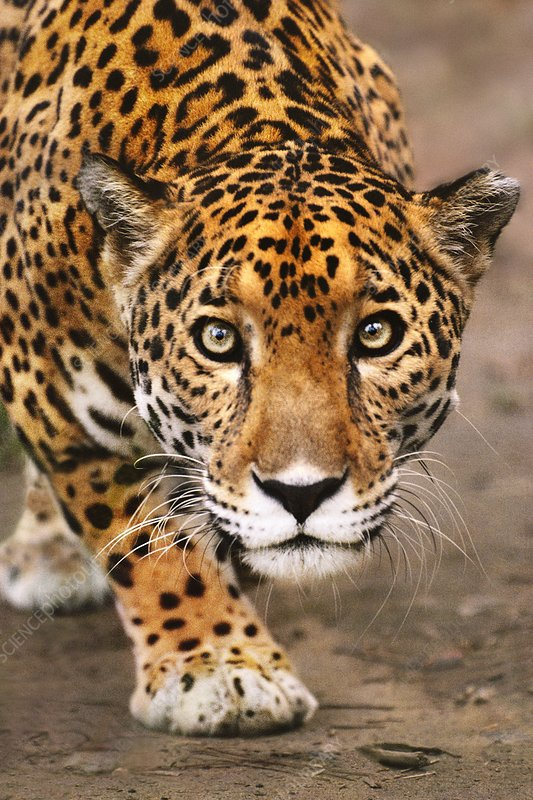 Jaguar stalking, Panthera onca, Belize