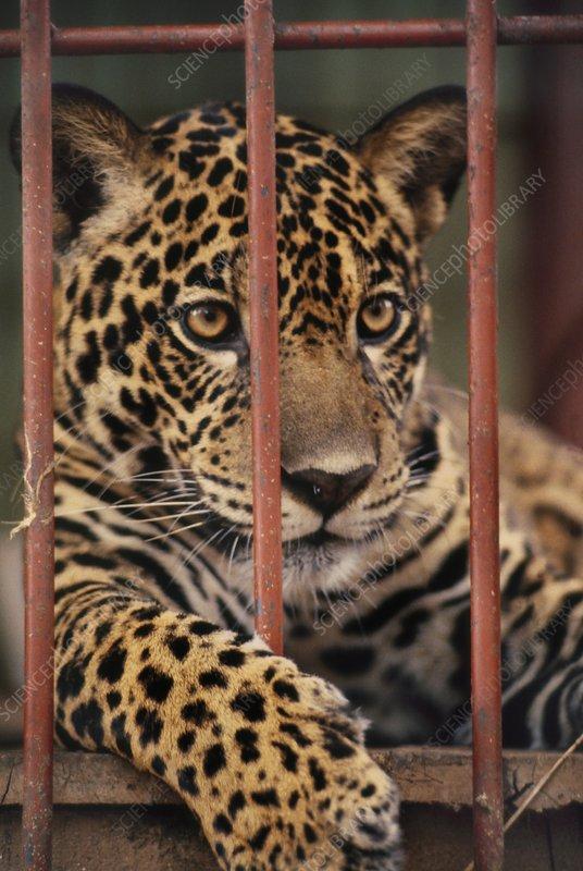 Jaguar in cage, Panthera onca, Surinam