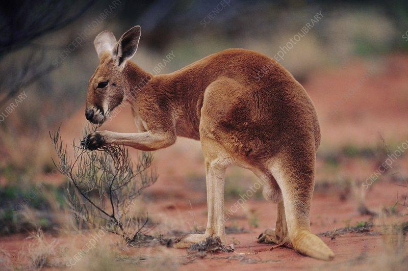 Red kangaroo feeding, Macropus rufus
