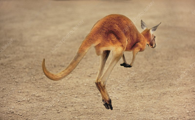 Red kangaroo in motion, Macropus rufus