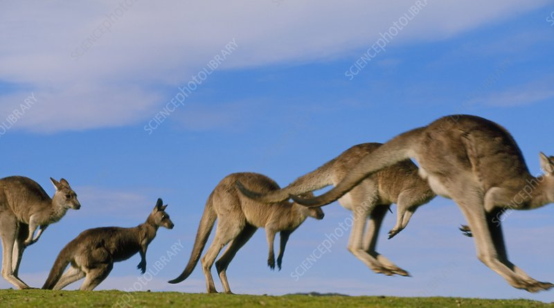 Eastern grey kangaroos jumping