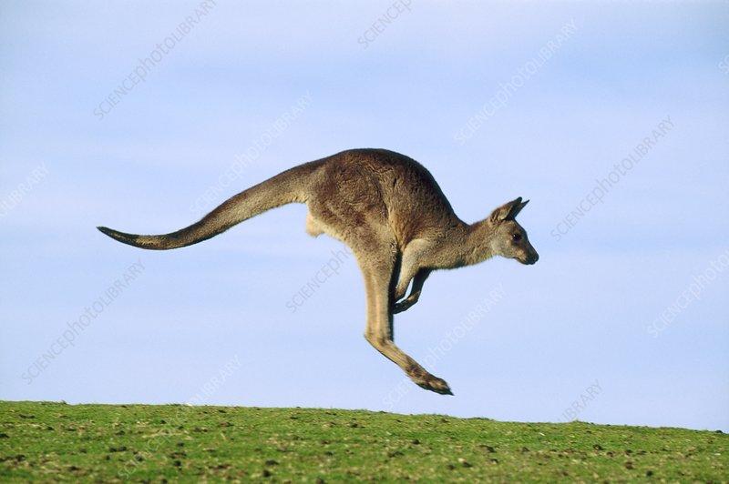 Eastern grey kangaroo, Macropus giganteus