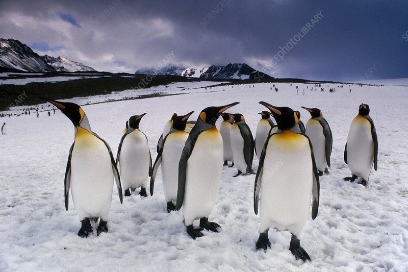 King penguins on snow field