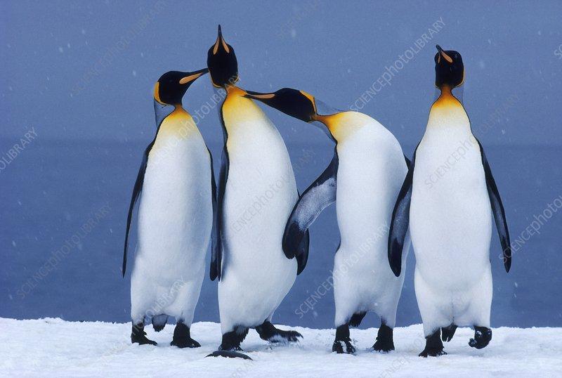 King penguins quarrelling