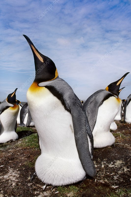 King penguins incubating, Falklands