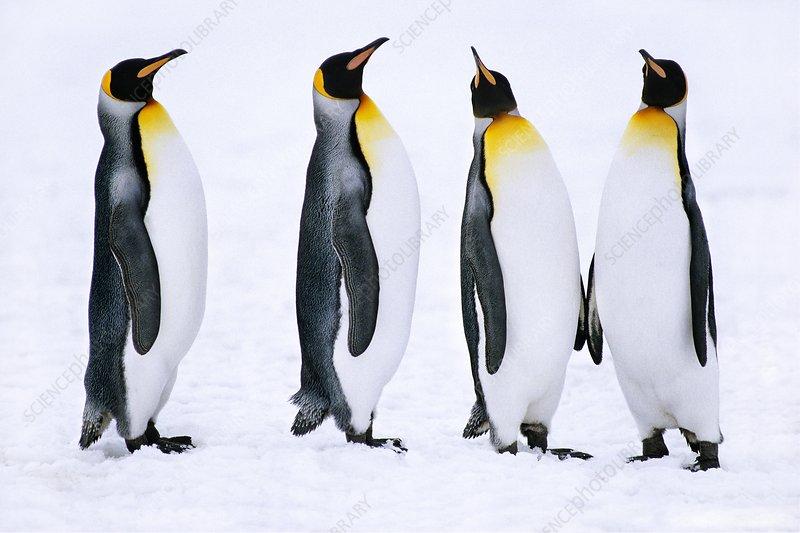 King penguins courting, Falklands