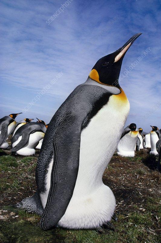 King penguin incubating, Falklands