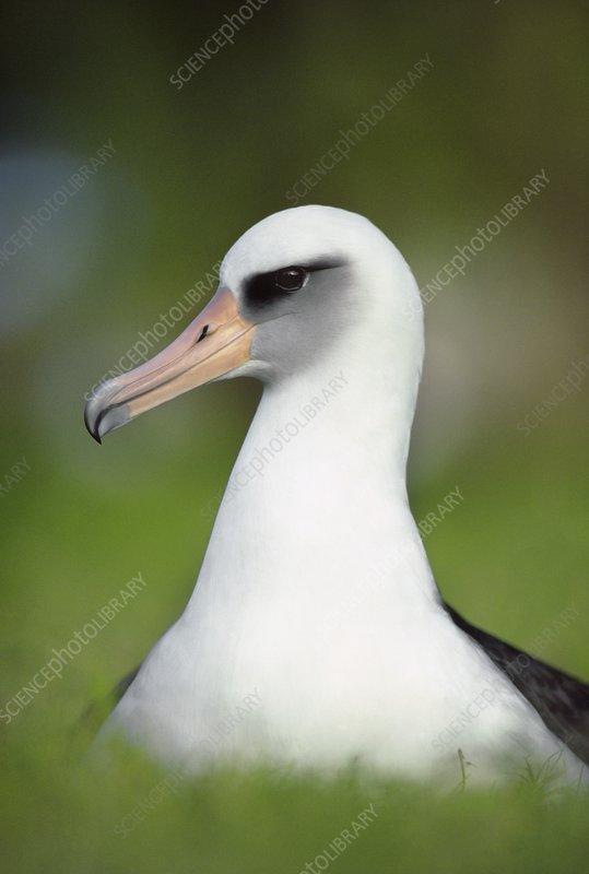 Laysan albatross, Phoebastria immutabilis