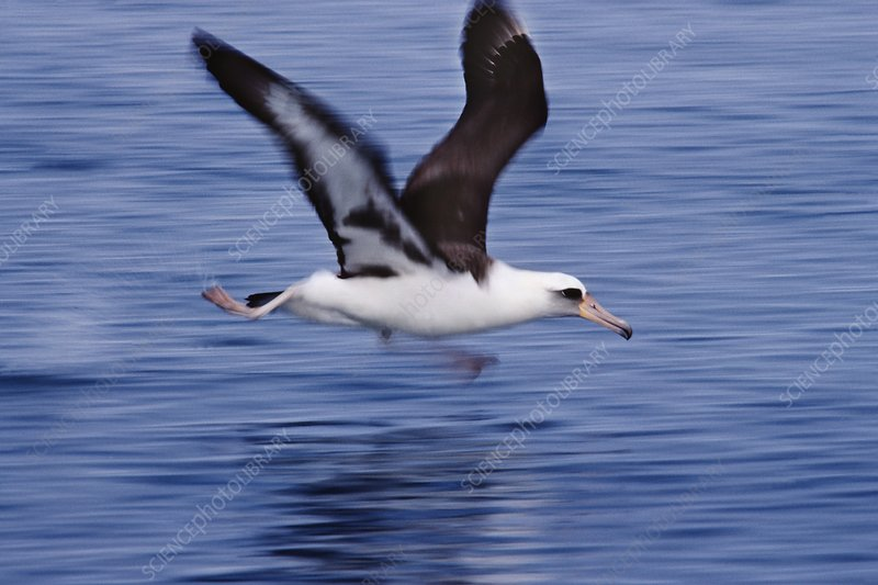 Laysan albatross taking off, Hawaii