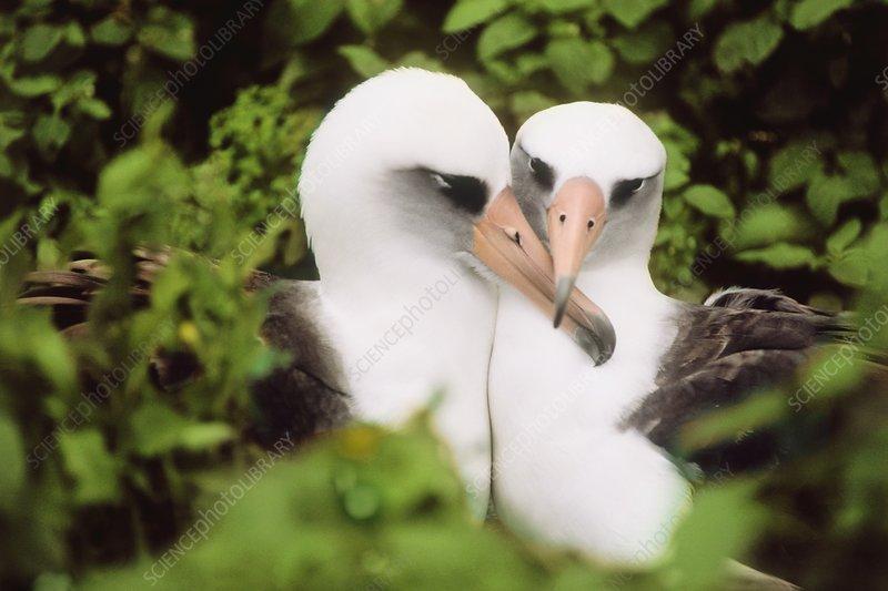 Laysan albatrosses courting, Hawaii