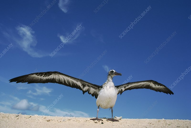 Young laysan albatross with wet wings