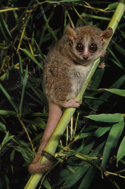 Brown mouse lemur, Microcebus rufus