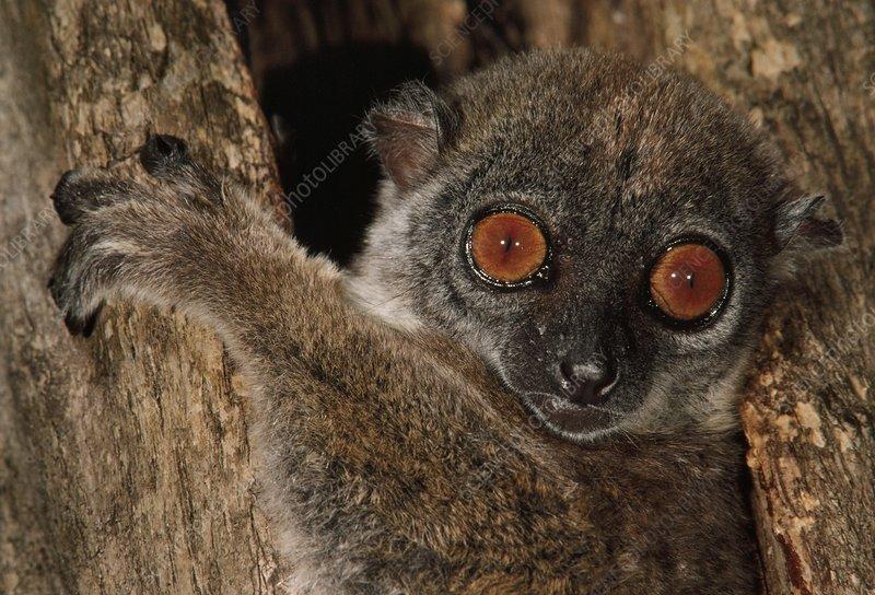 Sportive lemur, Lepilemur mustelinus