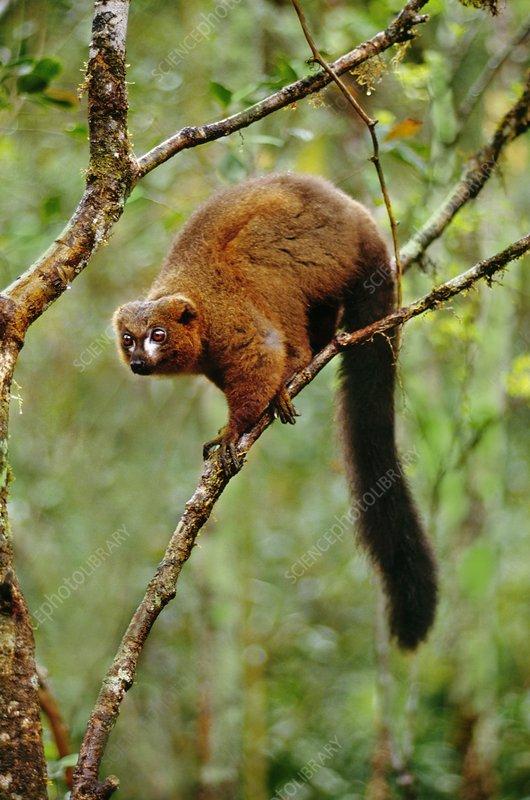 Red-bellied lemur on branch, Madagascar