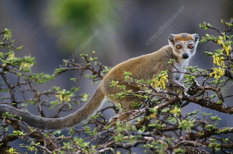 Crowned lemur, Eulemur coronatus
