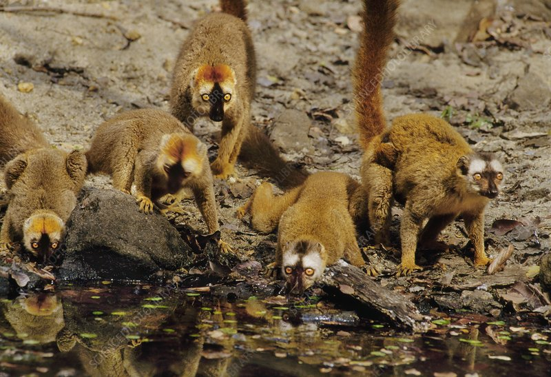 Red-fronted brown lemurs drinking