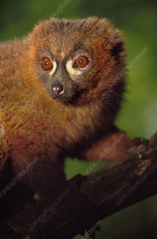 Red-bellied lemur, Eulemur rubriventer