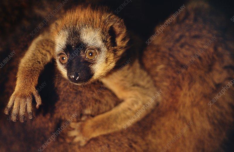 Brown lemur baby clinging to parent