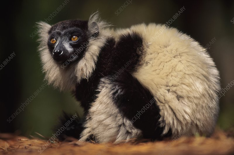 Black-and-white ruffed lemur, Madagascar