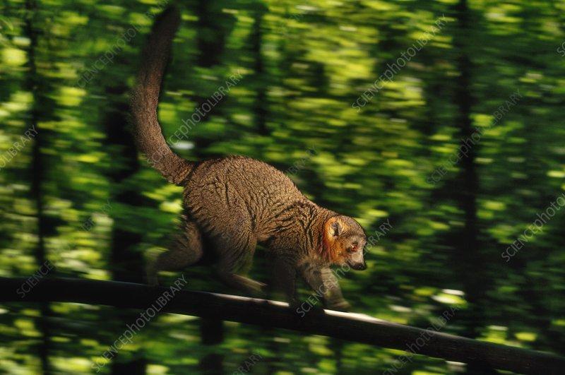 Mongoose lemur running, Eulemur mongoz