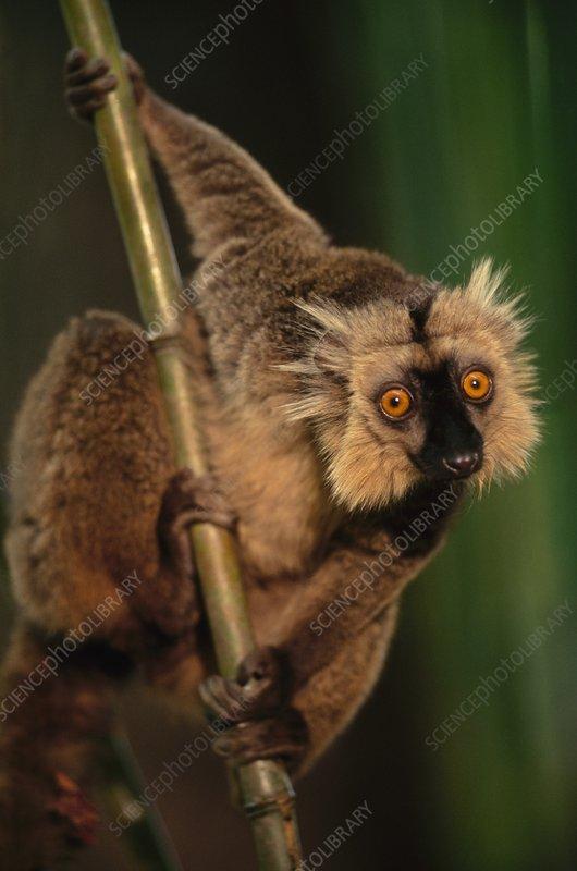 Sanford's brown lemur