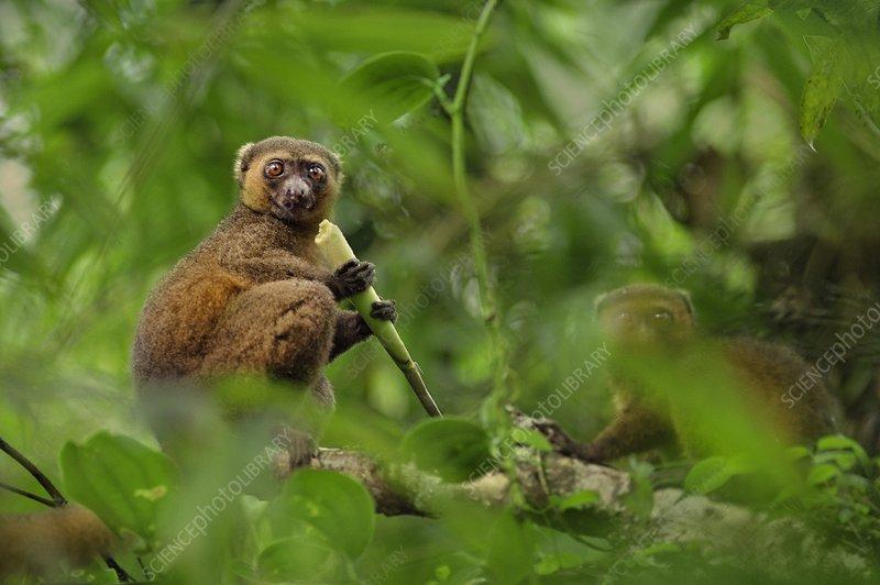 Golden bamboo lemur eating bamboo
