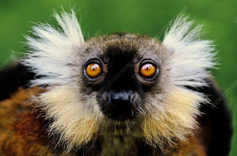Female black lemur, Eulemur macaco macaco