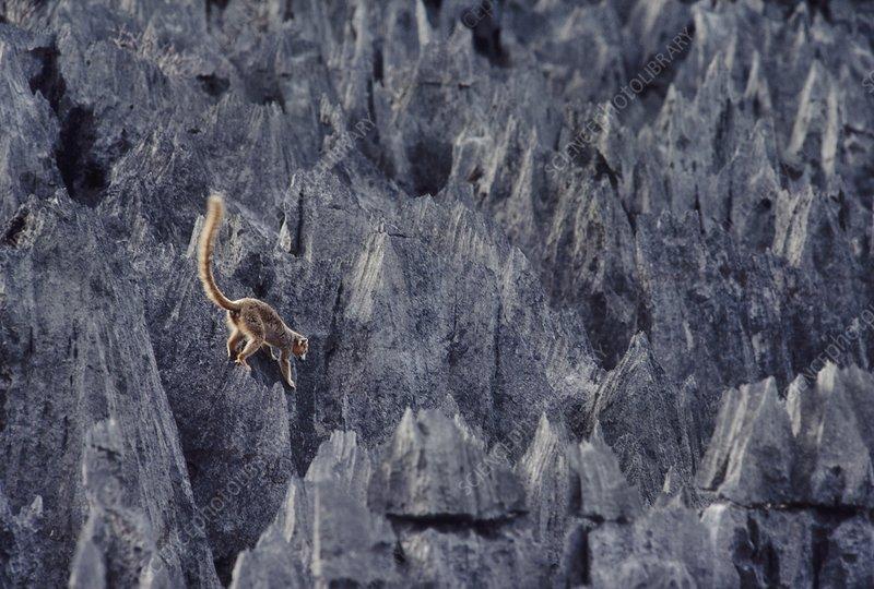 Crowned lemur on pinnacles, Madagascar