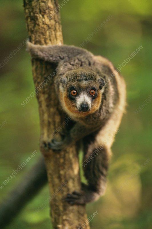 Mongoose lemur, Madagascar
