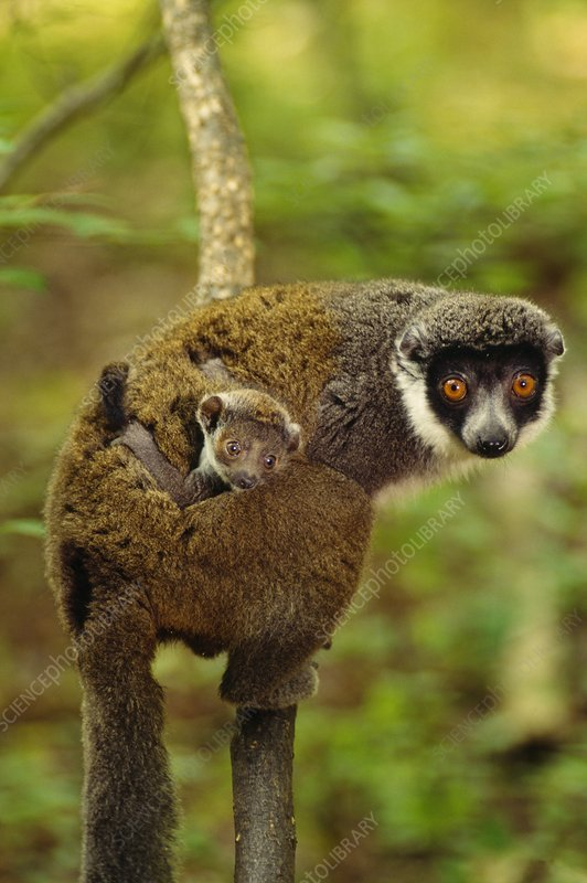 Eastern woolly lemur carrying young