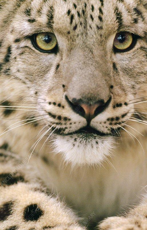 A Snow leopard, Uncia uncia
