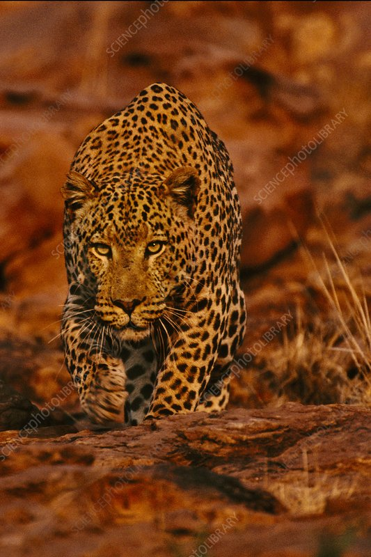 Leopard male stalking, Namibia