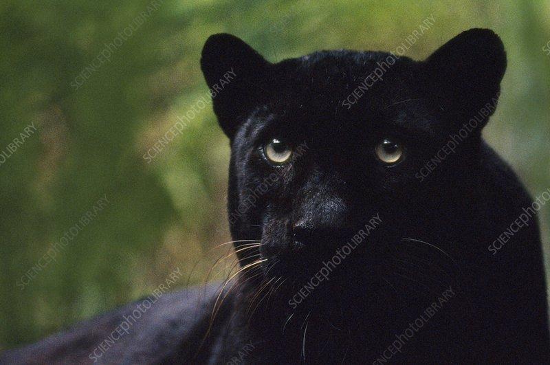 Black leopard, Panthera pardus